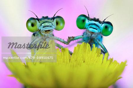 Two damselflies on wild flower.