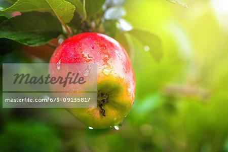 Organic red apple on branch.