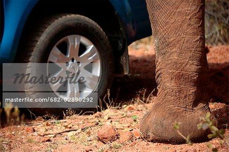 Close-Up of an Elephant (Loxodonta africana) Leg Next to a 4X4 Vehicle Tyre