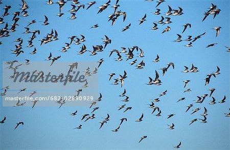 Flock of Common Tern (Sterna hirundo) Flying Across the Blue Sky