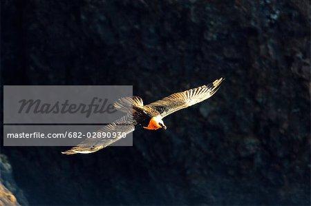 Lammergeyer (Gypaetus barbatus) Flying near Vultures' Retreat