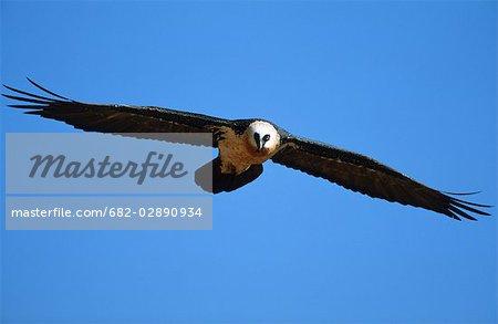 Bearded Vulture (Gypaetus Barbatus) in Flight