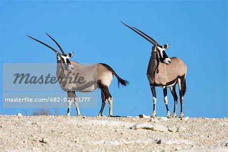 Pair of Gemsbok (Oryx gazella) on rocky crest, Kgalagadi Transfrontier Park, Northern Cape Province, South Africa