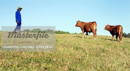 Farm worker stands in a field alongside two cattle, Midlands, KwaZulu Natal Province, South Africa