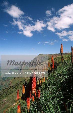 Red-Hot Pocker Flowers Against Green Mountain Landscape
