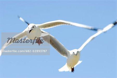 Hartlaub's Gull (Larus hartlaubii) in Flight