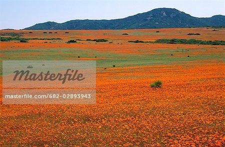 Fields of Wild Flowers in Kamieskroon