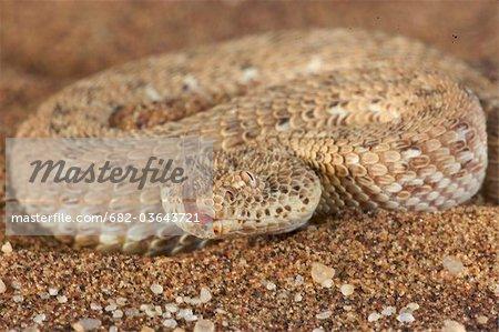 Horned Adder (Bitis caudalis) on desert sand, Namibia