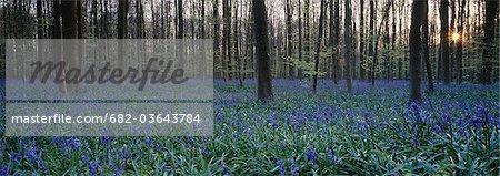 Wild wood bluebells (Hyacinthoides non-scripta) at sunset, Hallerwoods, Halle, Flemish Brabant, Belgium