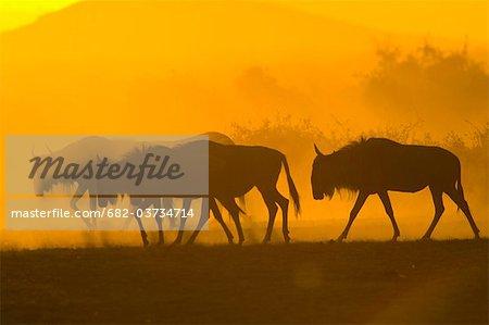 Silhouettes of Blue Wildebeest (Connochaetes taurinus) at sunset, Masai Mara National Reserve, Kenya