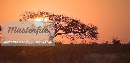 Sunset tree silhouette, Khutse, Botswana