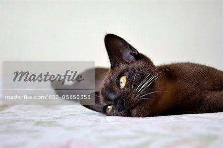 Burmese Cat, Zimbabwe
