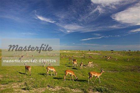 A large herd of Impala grazing, Chobe National Park, Chobe, Botswana