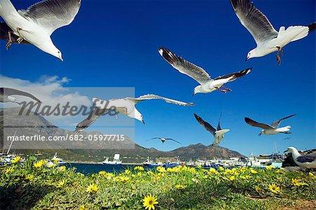 Hartlaub's Gulls flying away, Hout Bay, Western Cape, South Africa