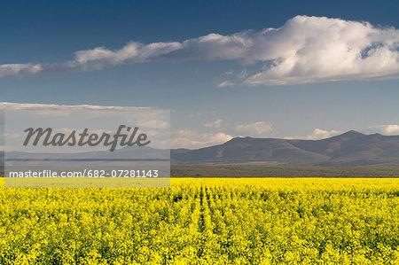 Canola fields near Struisbaai, Western Cape, South Africa