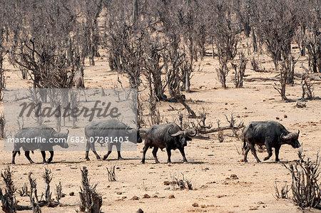 African buffalo herd, Masuma Pan, Hwange National Park, Zimbabwe