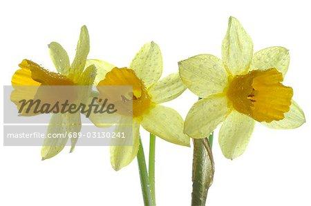 daffodils in full blossom