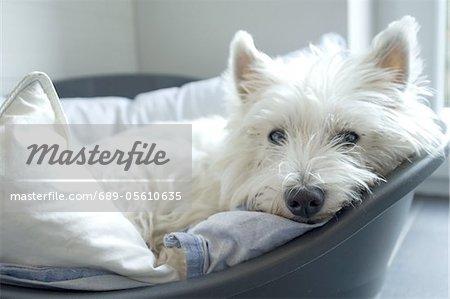 Westie lying in dog basket