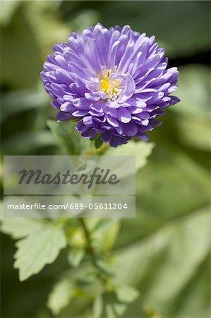 Blooming China Aster