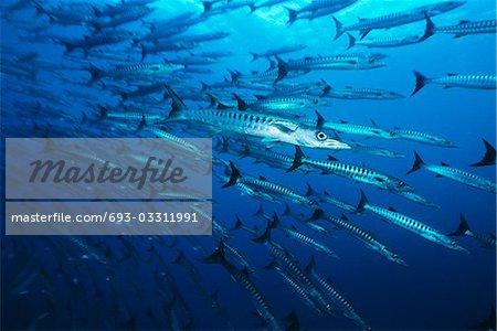 Large school of Barracuda fish