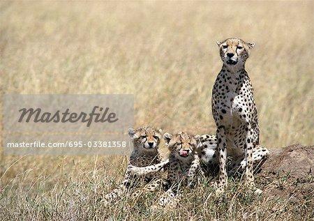 East African Cheetahs (Acinonyx jubatus raineyii), mother and two cubs, sitting in grassland savannah