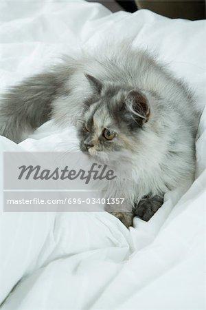 Longhaired cat lying on bed, full length