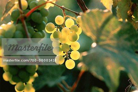 Close-Up of Grapes in Vineyard Ontario, Canada