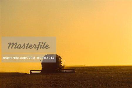 Harvesting Wheat Near St. Agathe, Manitoba, Canada