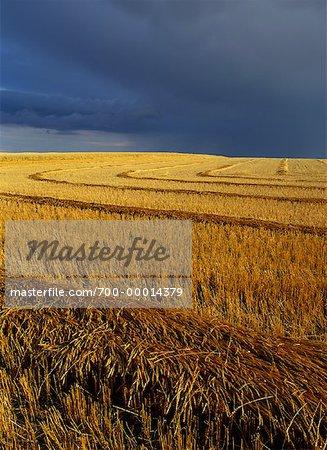 Swathed Wheat Field Near Abbey, Saskatchewan, Canada
