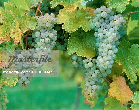 Green Grapes on Vine Penticton, Okanagan Valley British Columbia, Canada