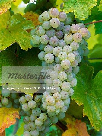 Green Grapes Penticton, Okanagan Valley British Columbia, Canada