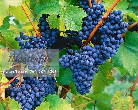 Close-Up of Grapes in Vineyard Penticton, Okanagan Valley British Columbia, Canada