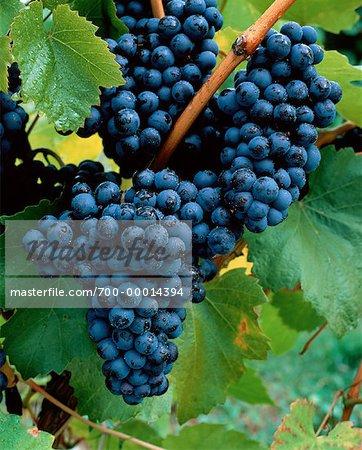 Grapes Penticton, Okanagan Valley British Columbia, Canada