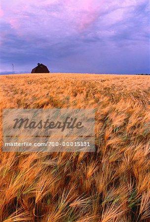 Barley Near Edmonton, Alberta, Canada