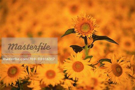 Sunflower Field Ormstown, Quebec, Canada
