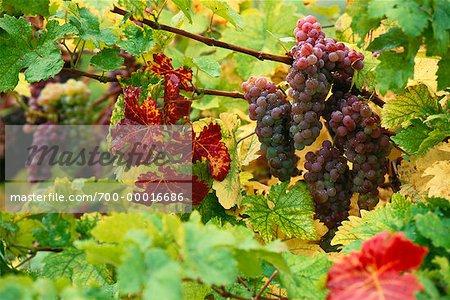 Grapes on Vine Austria