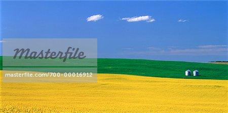 Canola Field Alberta, Canada