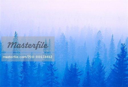 Coniferous Forest in Fog Near Prince George British Columbia, Canada