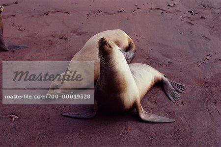 Seals Rabida Island, Galapagos Island Ecuador