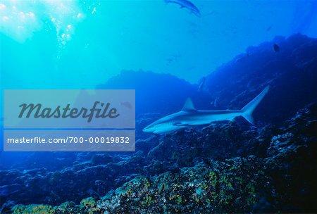Underwater View of Silky Shark Socorro Islands, Mexico