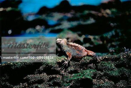 Marine Iguana Galapagos Islands, Ecuador