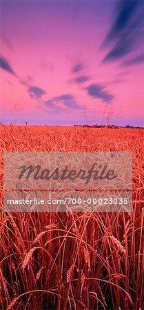 Wheat Field at Dusk Near Edmonton, Alberta, Canada