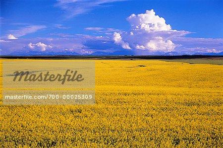 Canola Field Near Pincher Creek Alberta, Canada
