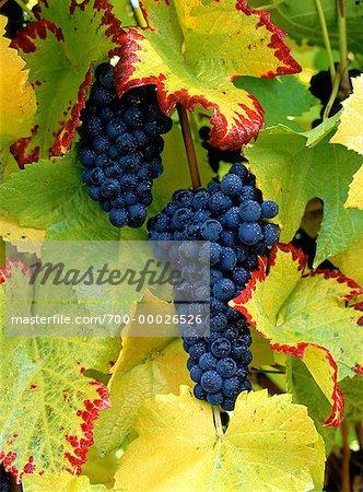 Pinot Noir Grapes on Vine Okanagan Valley, Penticton British Columbia, Canada