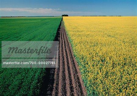 Flax and Canola Fields Wawanesa, Manitoba, Canada