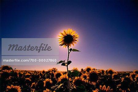 Sunflower Standing Out in Field Saskatchewan, Canada