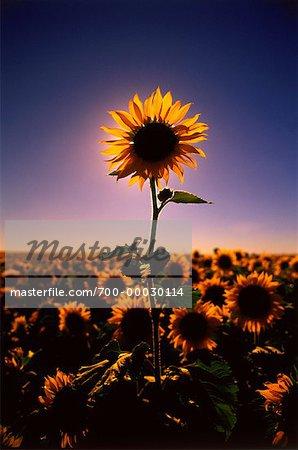 Field of Sunflowers with Single Tall Sunflower over Field Southern Saskatchewan, Canada