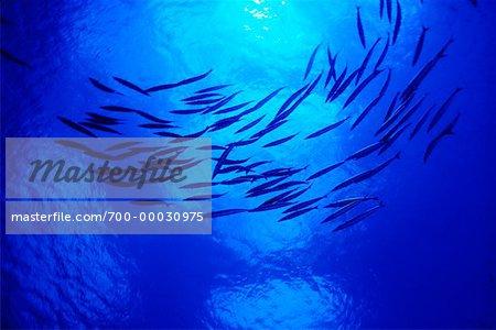 Underwater View of Barracuda Republic of Palau, Micronesia