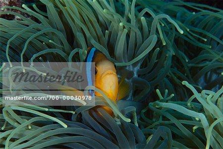 Underwater View of Anemone and Clownfish Republic of Palau, Micronesia