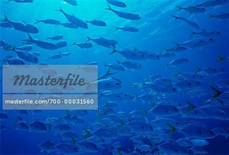 Underwater View of Horse-Eye Jacks Bahamas